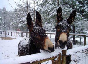 burro vinhais