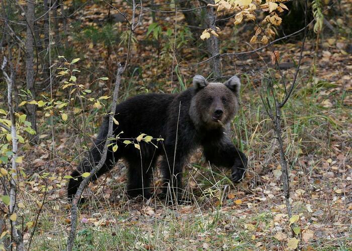 urso pardo montesinho
